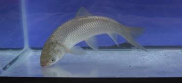 Grass Carp- Fish