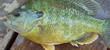 hybrid-sunfish